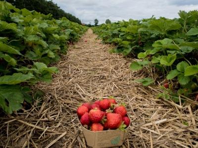 Ventegodtgaard - strawberries